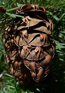 Close up of doglas fir pine cone