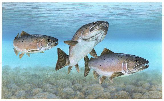 Columbia River chinook salmon